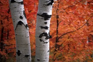 how-to-plant-birch-tree