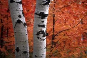 how-to-plant-birch-tree